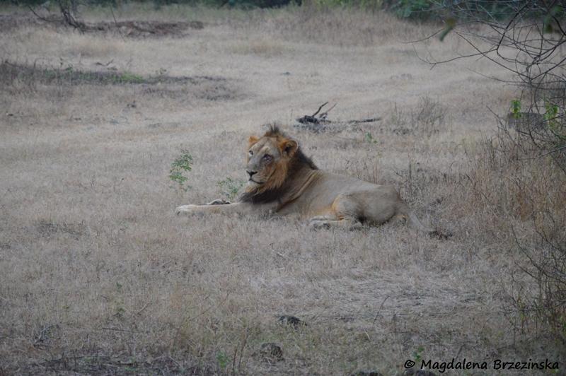 Oto Król w całej krasie. Park Narodowy Gir ©Magdalena Brzezińska