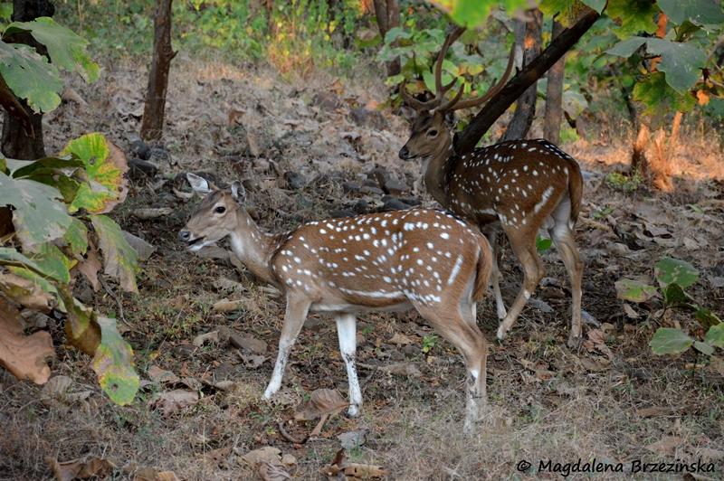 Jelenie aksis, Indie ©Magdalena Brzezińska