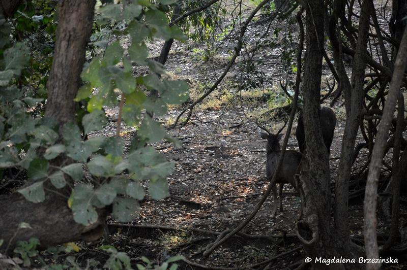 Sambary indyjskie. Park Narodowy Gir ©Magdalena Brzezińska