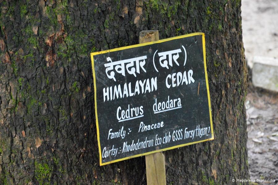 Cedr Himalajski, McLeod Ganj, Indie, lipiec 2016 © Magdalena Brzezińska
