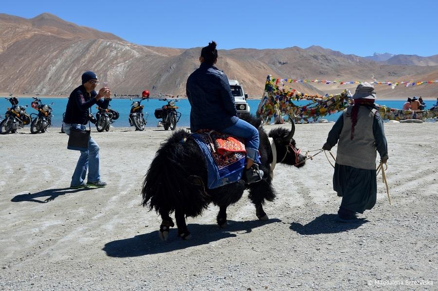 fot. Jak – atrakcja turystyczna © Magdalena Brzezińska, Ladakh, Indie 2016