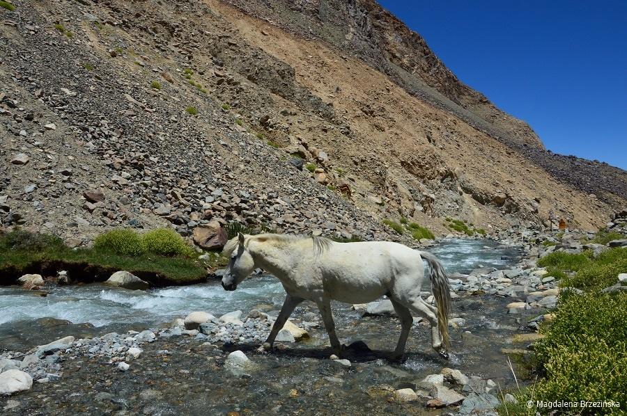 fot. Dziki koń © Magdalena Brzezińska, Ladakh, Indie 2016