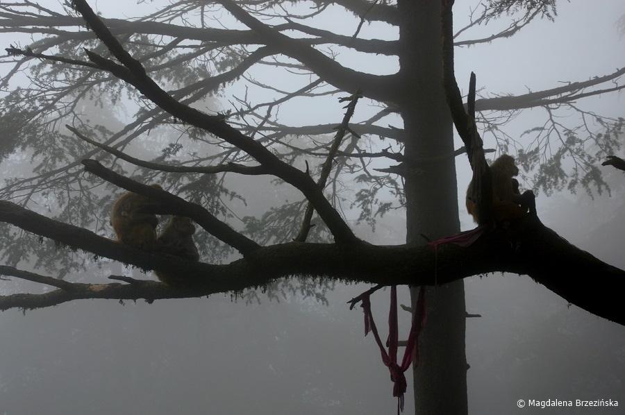 fot. Makaki w świątyni Jakhoo © Magdalena Brzezińska, Indie 2016