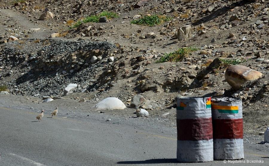 fot. Kuropatwy górskie (Alectoris chukar) © Magdalena Brzezińska, Ladakh, Indie 2016